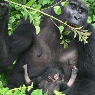 3 Days Gorilla Trekking Safari Bwindi & Batwa Experience