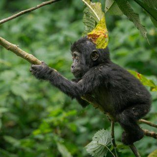 4 Days Double Uganda Gorilla Trekking Bwindi Impenetrable National Park