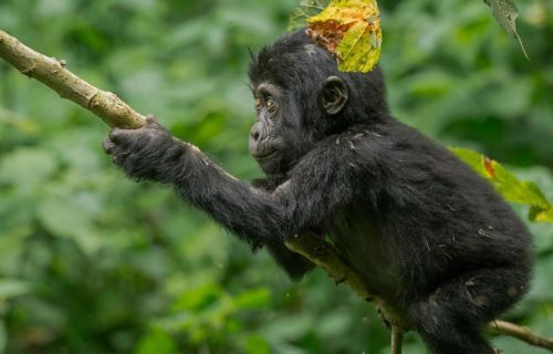 4 Days Double Uganda Gorilla Trekking Bwindi Impenetrable National Park