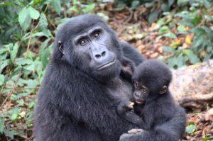 4 Days Gorilla trekking Safari Uganda