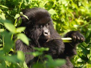 4 Days Rwanda Gorilla safari tours