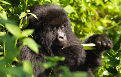 4 Days Rwanda Gorilla safari tour