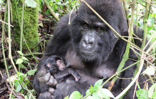 Budget Congo Gorilla Safari