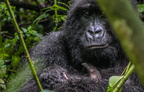 Congo Gorilla Tours Guided Congo Gorilla Trekking Safaris