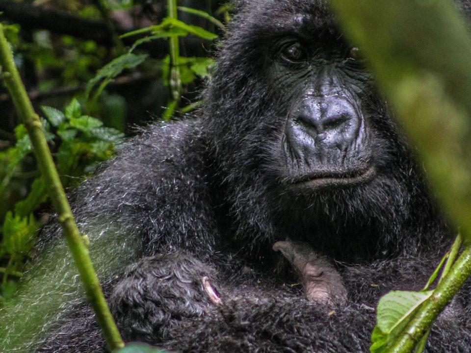 Congo Gorilla Tours Guided Congo Gorilla Trekking Safaris