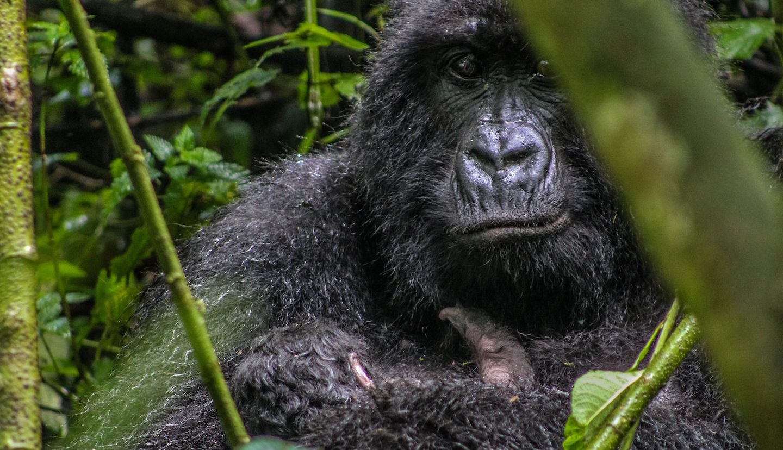 Congo Gorilla Tours - 2021 Guided Gorilla Trekking Packages
