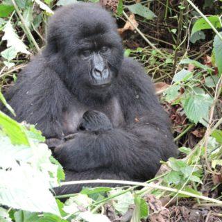 Congo Luxury Gorilla Tours