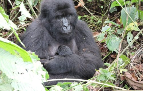 Congo Luxury Gorilla Tours