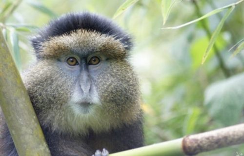 Golden monkey trekking tour