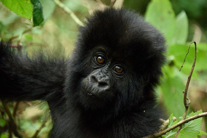 2 Day Gorilla Trek Rwanda