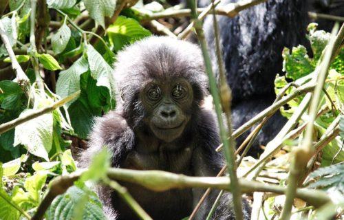 3 Days Gorilla Trekking Safari Bwindi Uganda