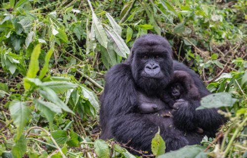 Gorilla Trekking Tours in Rwanda