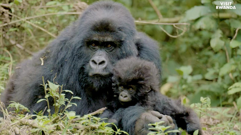 Gorilla tours in Rwanda