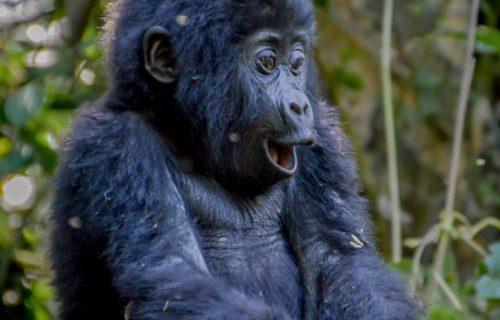 UGANDA GORILLA TREKKING HOLIDAYS TOURS