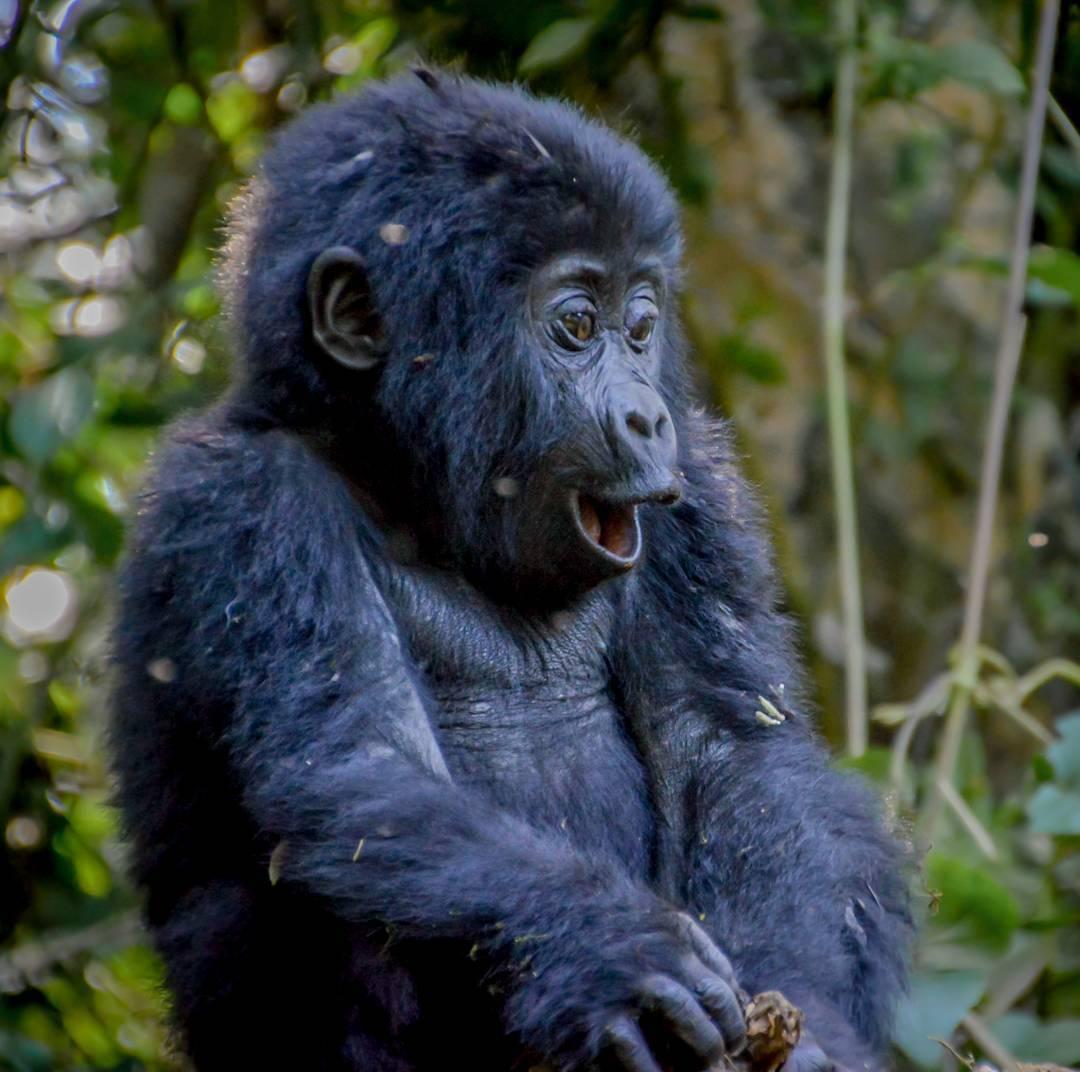 Gorilla Trekking Tours 2021 (Gorilla Tours) Kabira Gorilla Safari