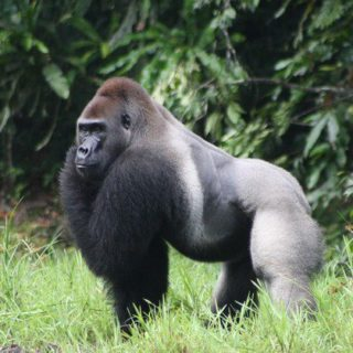 LONG CONGO GORILLA TOURS