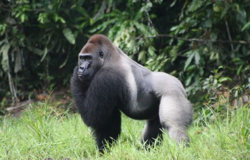 LONG CONGO GORILLA TOURS