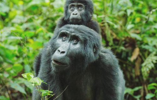 Luxury & Budget Uganda Gorilla trekking Safaris
