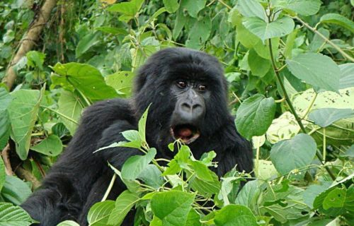 Luxury Congo Gorilla Tours
