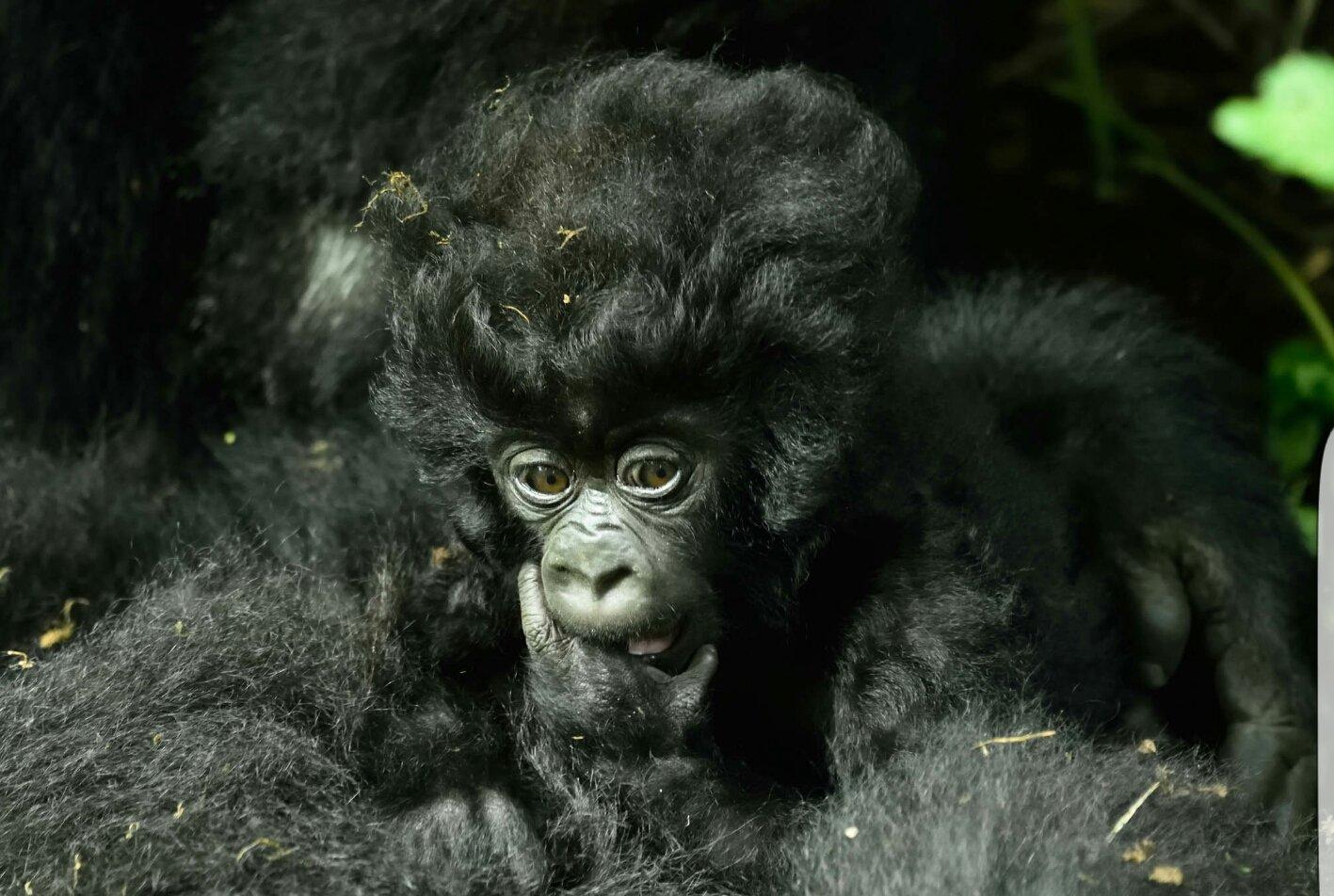 Luxury Gorilla Tours in Rwanda
