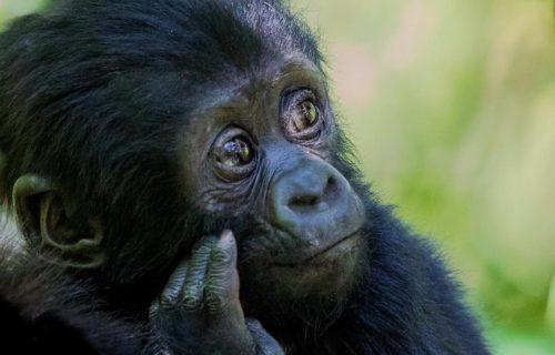 3 Days Mgahinga Gorilla Trekking Safari Uganda is the best short Gorilla trekking safari to Mgahinga Gorilla National Park found within the Virunga massif which is a chain of 8 volcanoes.