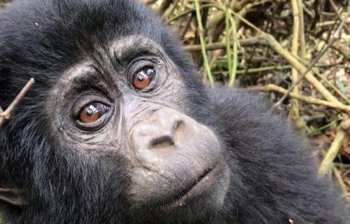 3 Days Mgahinga Gorilla Trekking Safari Uganda & Batwa Cultural Tour