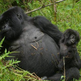 Rwanda Gorilla trekking Tours