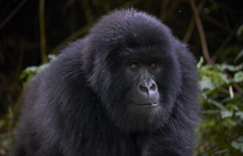 Short Congo Gorilla Tours