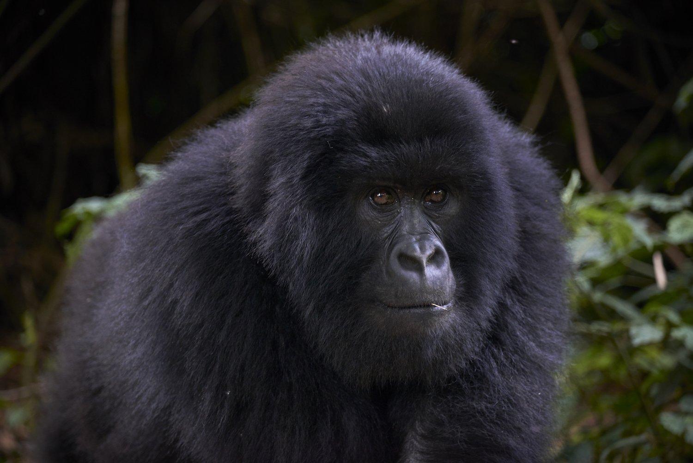 Short Congo Gorilla Tours