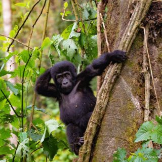 UGANDA GORILLA SAFARIS LUXURY