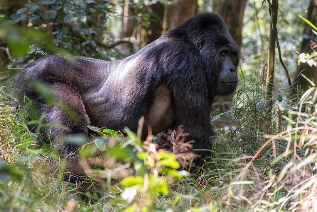Uganda Gorilla Trekking 2021 Gorilla Tours Uganda Gorilla Safari