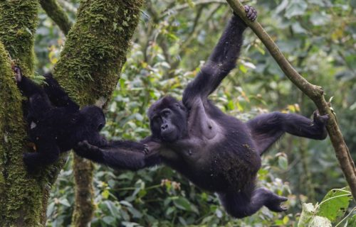 Uganda Gorilla trekking Safaris and Tours