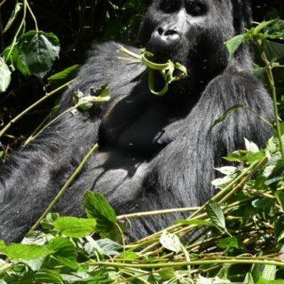 3 Days Congo Lowland Gorilla Trekking Safari