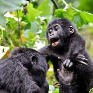 Bwindi Gorilla Habituation Experience Safari Uganda