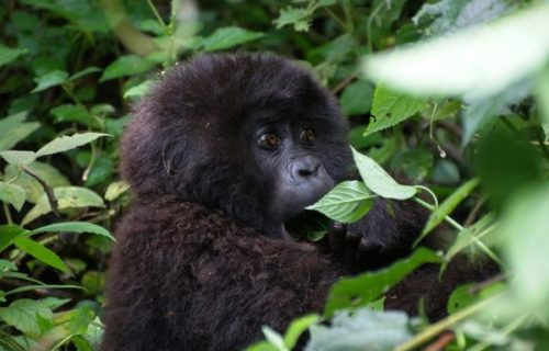 Congo Double Gorilla Trekking Safari from Kigali to Virunga National Park