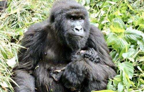 Congo Gorilla Trek