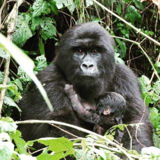 Congo Gorilla Trek & Nyiragongo Hike
