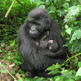 Congo Lowland Gorilla Trekking Safari