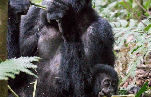 Double Gorilla Trekking Safari
