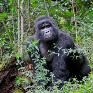 Gorilla Habituation Safari Bwindi Rushaga Sector