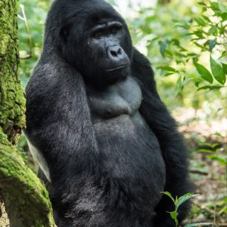 Gorilla habituation Experience & Lake Bunyonyi tour