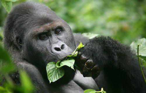 Mountain Gorilla trekking in Congo
