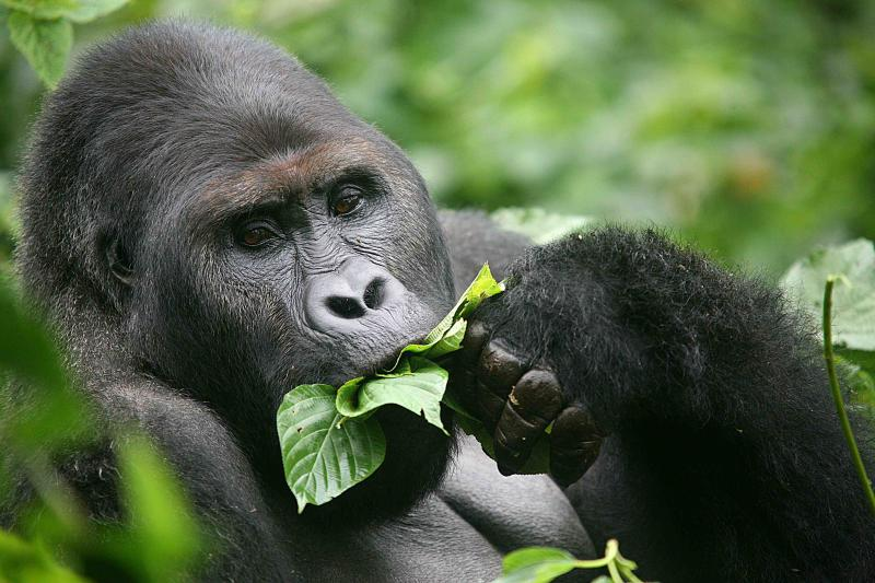 Mountain Gorilla trekking in Congo