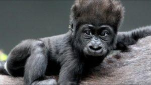 Rwanda safari Gorillas