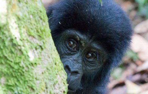 Uganda Gorilla Trekking Safari Itinerary
