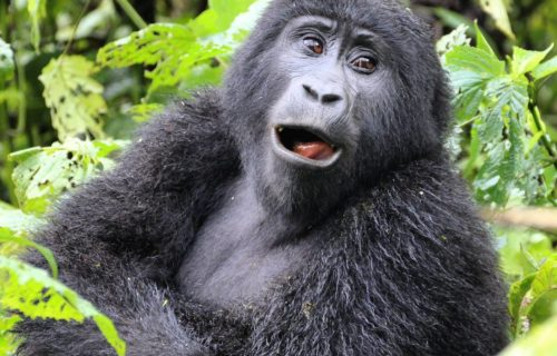 5 Days Fly in Safari to Bwindi Impenetrable & Queen Elizabeth National Park Uganda