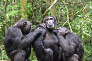 Chimpanzee trekking Safari Uganda