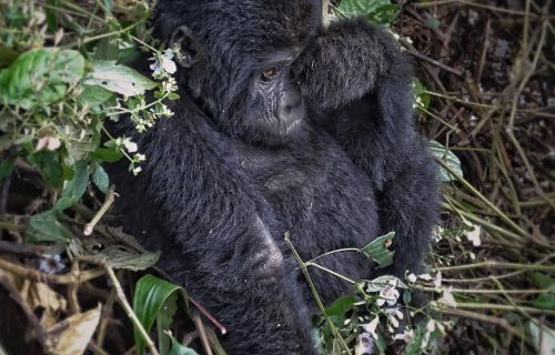 Luxury Gorilla Safari Bwindi Forest National Park