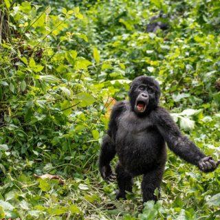 Luxury Uganda Gorilla Safari Bwindi