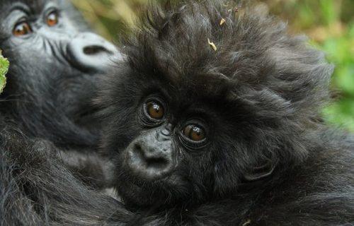 Rwanda Luxury Gorilla Tour